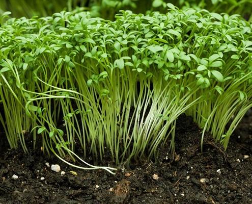 کاشت بذر شاهی در خانه