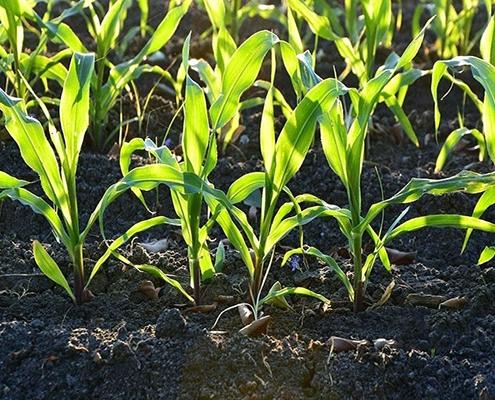 خاک مناسب کاشت ذرت