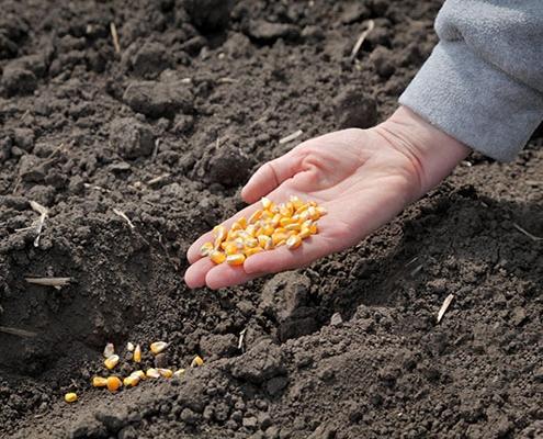 کاشت بذر ذرت