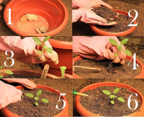 کاشت گیاه مریم گلی