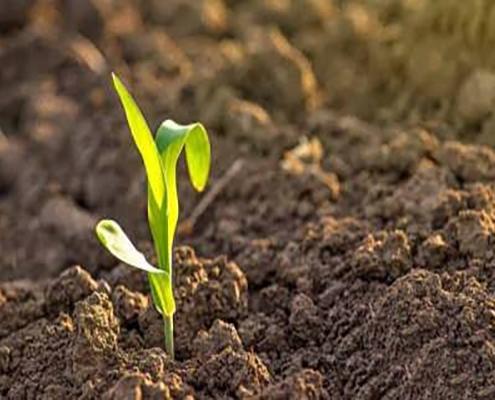 مراقبت از بذر ذرت
