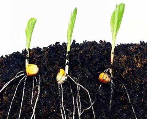 کاشت و پرورش بذر ذرت