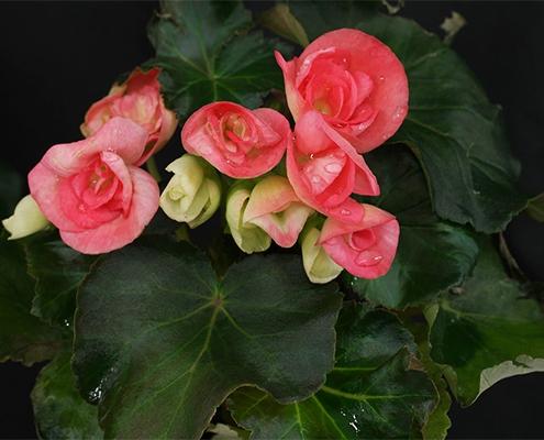 نگهداری از گل بگونیا هلندی