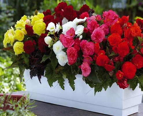 گل بگونیا نوع هلندی