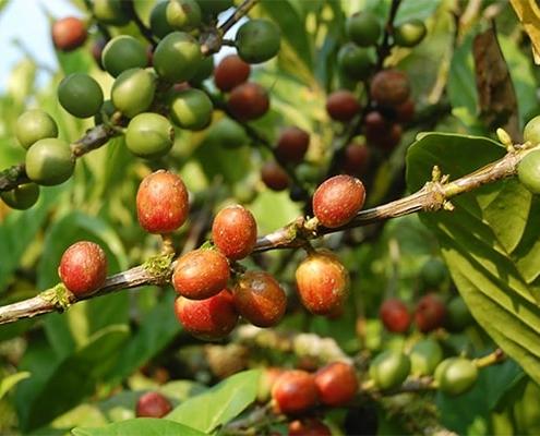 درخت قهوه لیبریکا