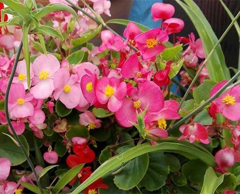گل بگونیا نوع دکمه ای