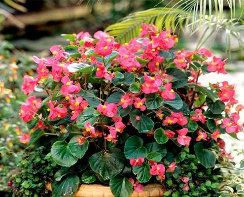 گل بگونیا نوع بوته ای