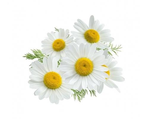 خواص گل بابونه