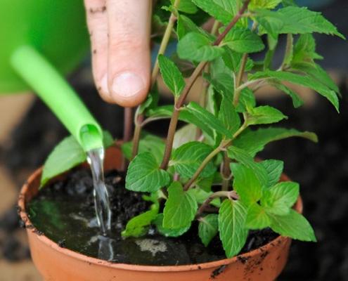 آبیاری مناسب برای کاشت نعناع