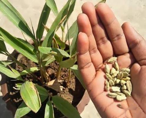 خاک و کود مناسب برای کاشت هل