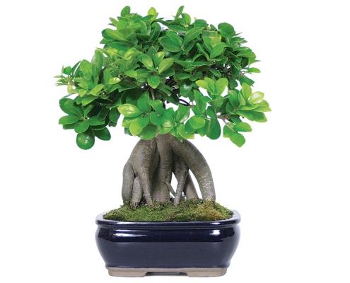 آشنایی با گیاه جینسینگ