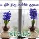 کاشت گل سنبل عید