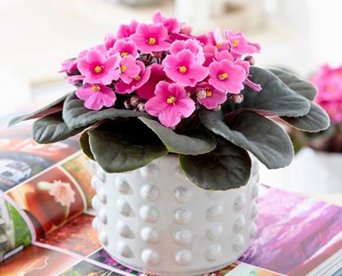 گل بنفشه آفزیقایی