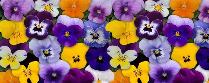 کاشت گل بنفشه
