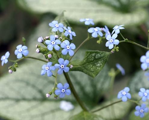 گل بهاری فراموشک مکن (برونرا)