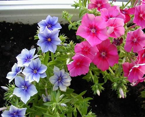 کاشت گل بهاری فلوکس در باغچه