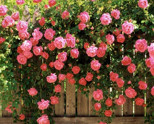 کاشت گل رز محمدی در باغچه