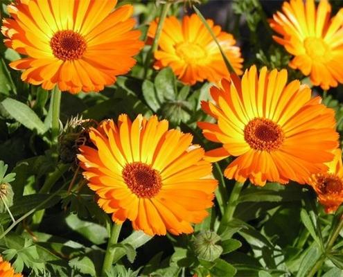 کاشت گل همیشه بهار در باغچه