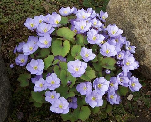 کاشت گل جفرسونیا در باغچه
