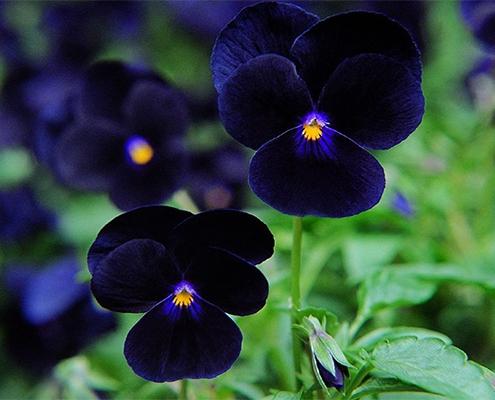 پرورش و نگهداری گل بنفشه