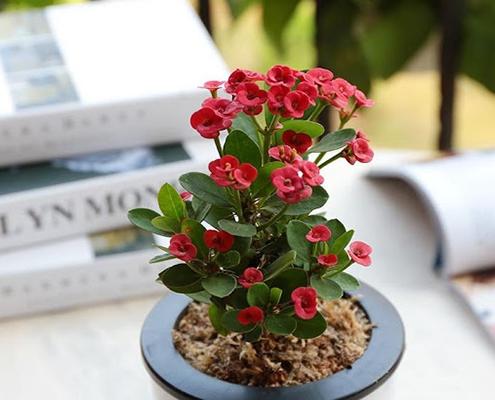 گل بهاری آپارتمانی مرجان مینیاتوری