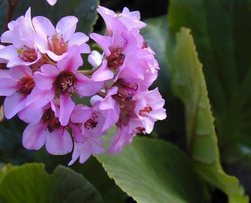 کاشت گل بهاری برگنیا در باغچه