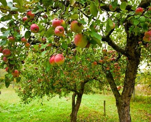 کود شیمیایی برای کیفیت بهتر میوه ها