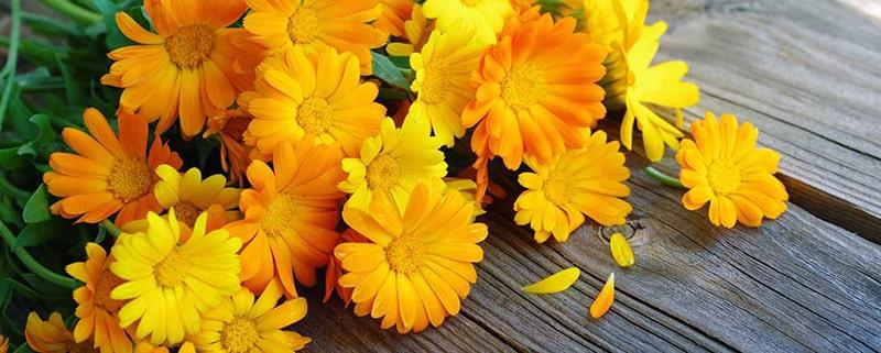 کاشت و پرورش گل همیشه بهار