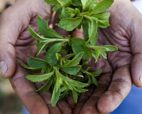 کاشت بذر گیاه استویا