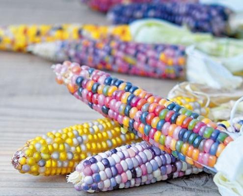 کاشت بذر ذرت رنگین کمان