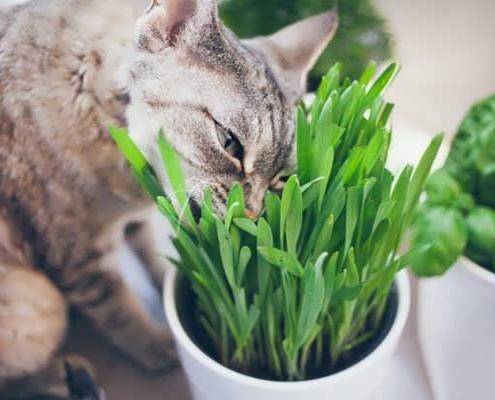 گیاه شناسی علف گربه (سنبل الطیب)