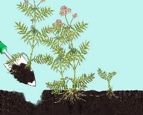 برداشت گیاه علف گربه