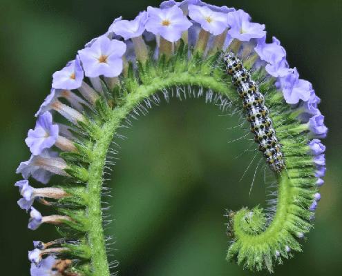 مشخصات گیاه آفتاب پرست
