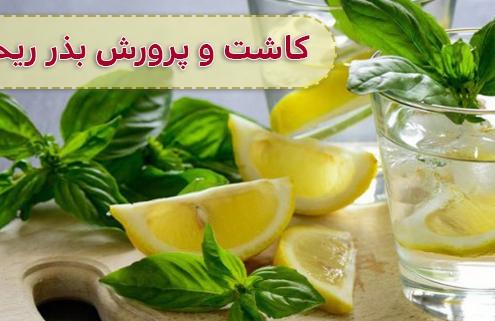 پرورش ریحان لیمویی