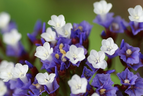 کاشت و پرورش گل لیمونیوم