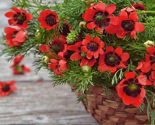 کاشت و نگهداری بذر گل آدونیس