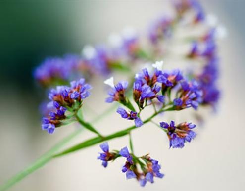 تکثیر گل لیمونیوم استاتیس