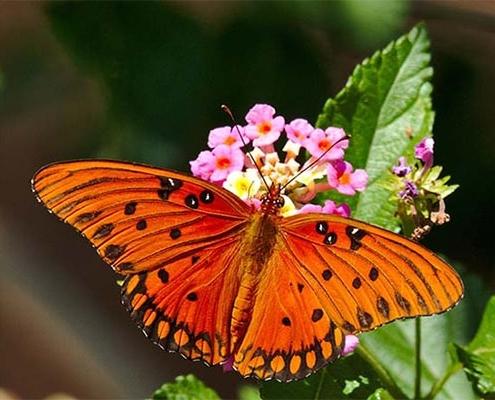 پرورش گل شاهپسند در باغ پروانه