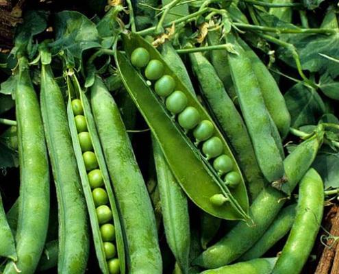 نخود فرنگی سبزیجات پاییزی