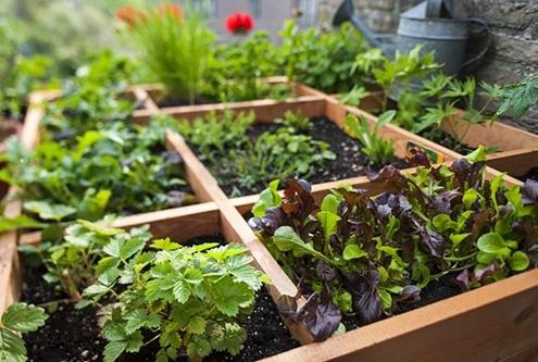 کاشت سبزیجات و صیفیجات
